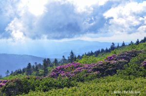 Roan Mountain Wild things