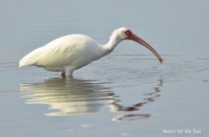 White Ibis feeding