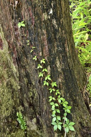 Virginia Creeper on tree